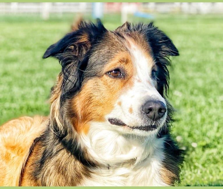 Photo of Lark, an English Shepherd  in Turlock, California, USA