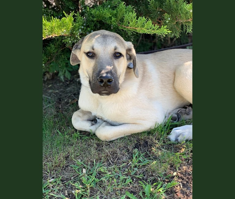 Photo of Gryffin, a Great Pyrenees and Mountain Cur mix in Mississippi, USA