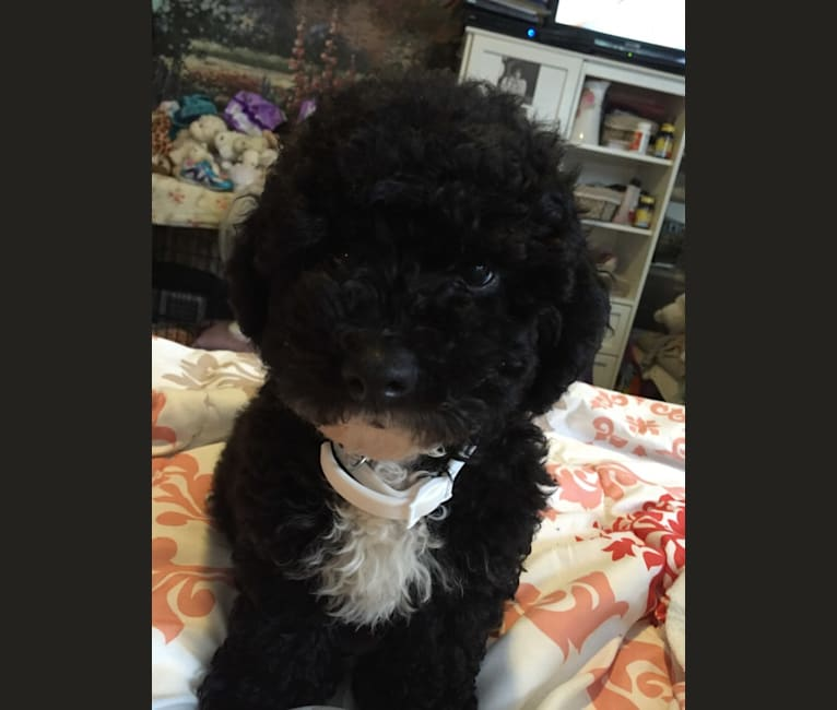 Photo of Maxwell, a Poodle (Small)  in PA, USA