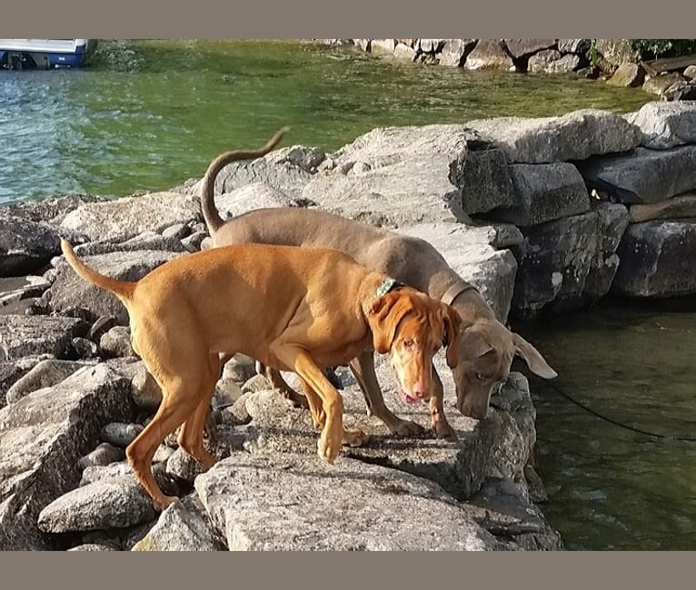 Photo of Major, a Catahoula Leopard Dog, Labrador Retriever, and German Shorthaired Pointer mix in Melbourne Beach, Florida, USA