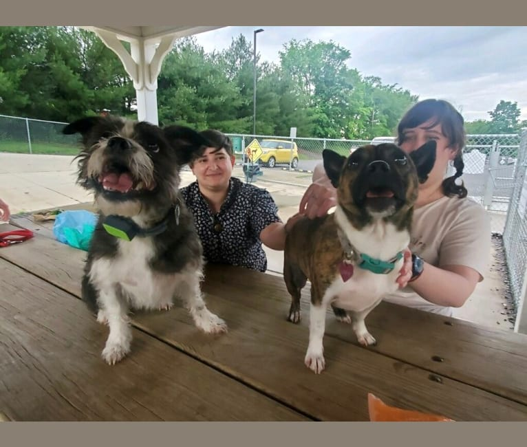 Photo of Laika Dee, a Boston Terrier, Shih Tzu, and Mixed mix in Parkersburg, West Virginia, USA