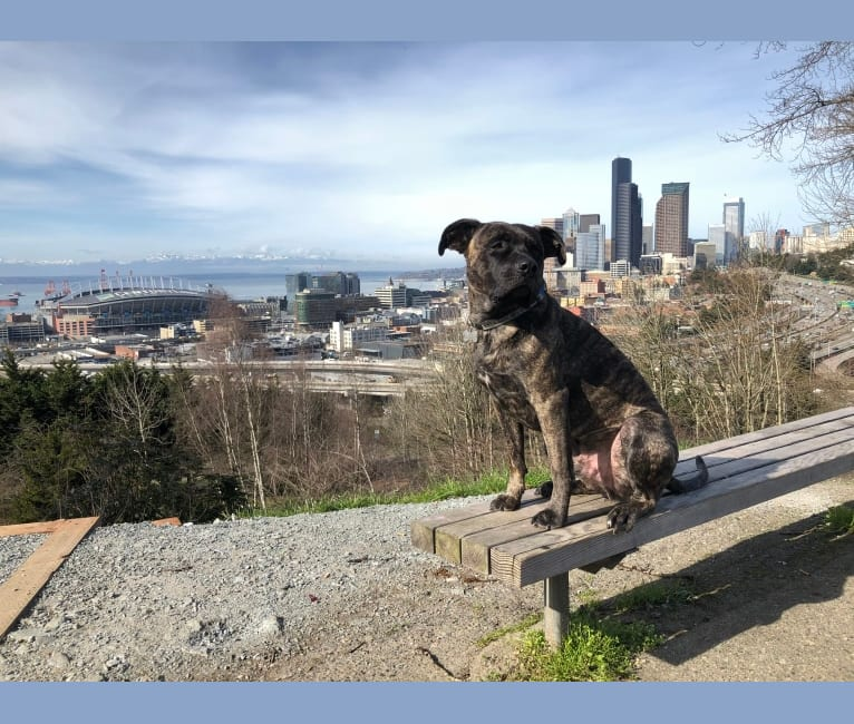 Photo of Roscoe, an American Pit Bull Terrier, German Shepherd Dog, Boxer, and American Staffordshire Terrier mix in Bellevue, Washington, USA
