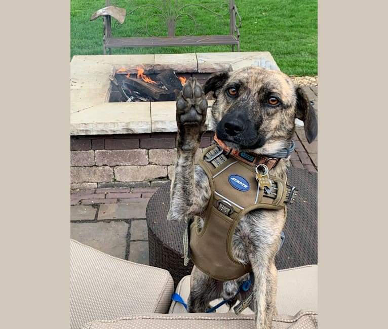 Photo of MAX, a Mountain Cur, Norwegian Elkhound, and Mixed mix in Monroeville, Pennsylvania, USA