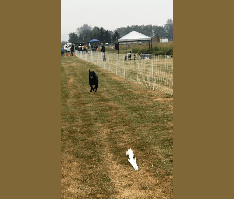 Photo of Nikko, a Belgian Shepherd  in Marysville, Washington, USA