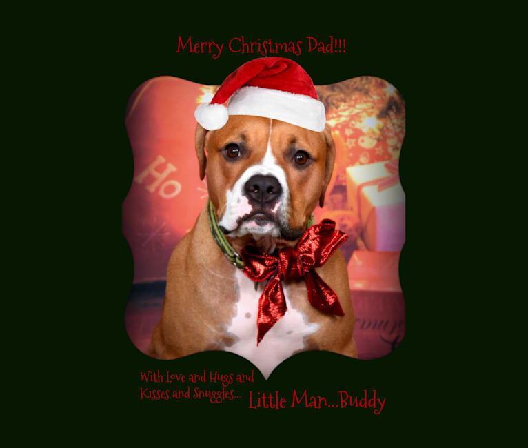 Photo of Buddy, an American Pit Bull Terrier, Bulldog, Rottweiler, and Boxer mix in East Rochester, New York, USA