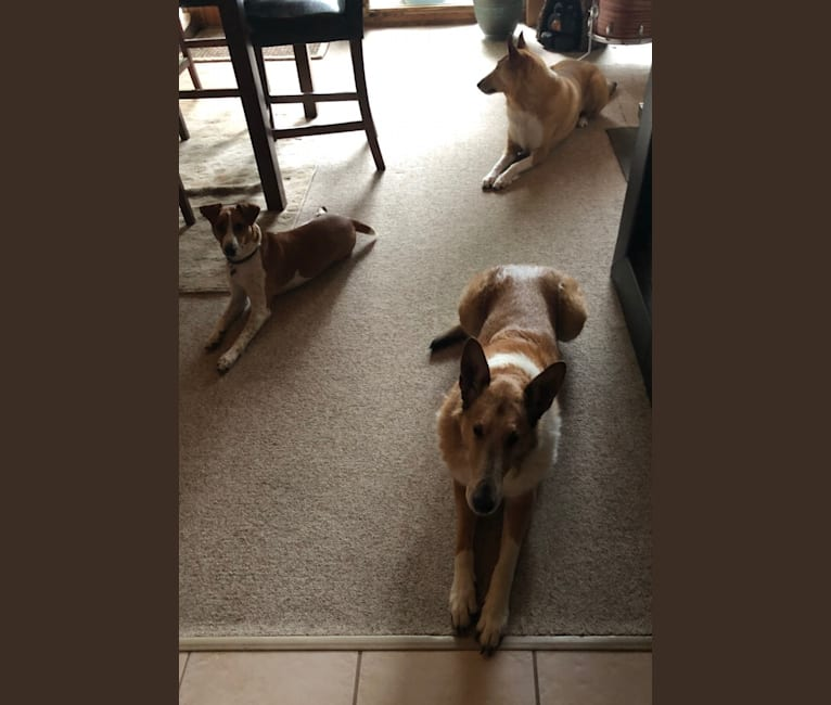 Photo of Jazz, a Russell-type Terrier, Australian Cattle Dog, and Brittany mix in Penns Valley, PA, USA