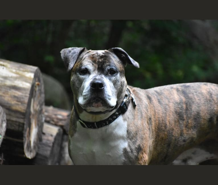 Photo of Jackson, an American Pit Bull Terrier, Bulldog, American Bulldog, and American Staffordshire Terrier mix in Connecticut, USA