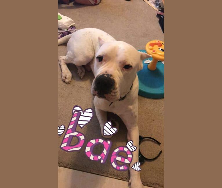 Photo of Duke, a Dogo Argentino  in Serbia