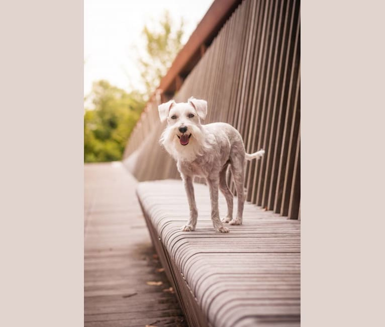 Photo of Loki, a Miniature Schnauzer, Bichon Frise, and Poodle (Small) mix in Memphis, TN, USA