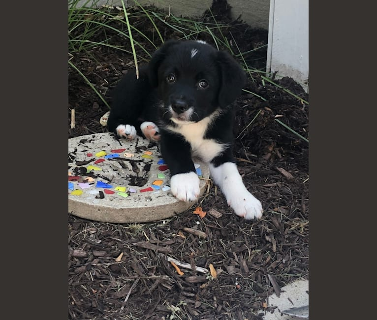 Photo of Finn, a Siberian Husky, Beagle, Australian Shepherd, Labrador Retriever, Chow Chow, Cocker Spaniel, and Mixed mix in Kentucky, USA