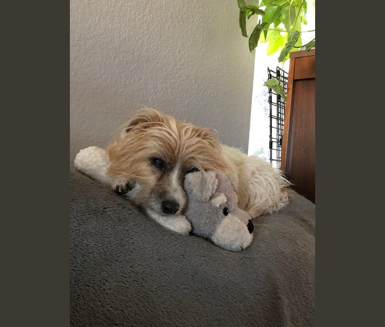 Photo of Puff, a Russell-type Terrier