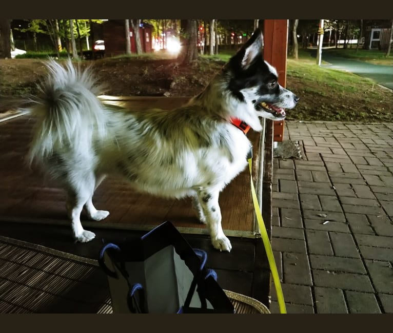 Photo of Rocket, an East Asian Village Dog  in null