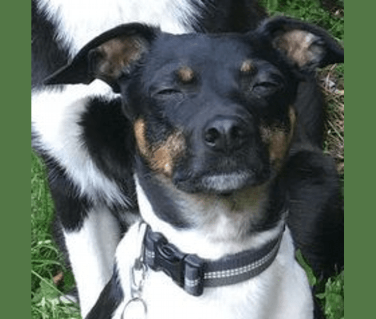 Photo of Carl, a Rat Terrier  in Washington, USA
