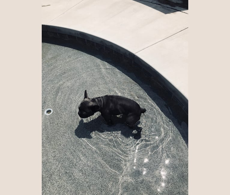 Photo of Blu, a French Bulldog  in California, USA