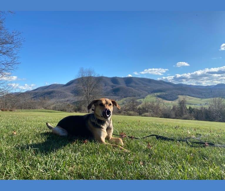 Photo of Bowman, an American Pit Bull Terrier, Chow Chow, Australian Shepherd, Mountain Cur, and Mixed mix in Atlanta, Georgia, USA