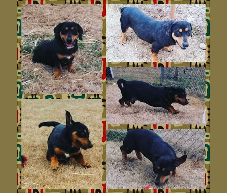 Photo of Carlos, a Dachshund, American Pit Bull Terrier, and Rottweiler mix in Atlanta, Georgia, USA