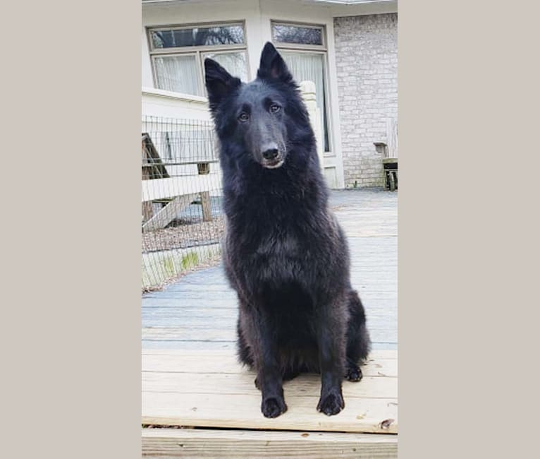 Photo of Jules, a Belgian Shepherd  in 1069 South Alpha Bellbrook Road, Sugarcreek Township, OH, USA
