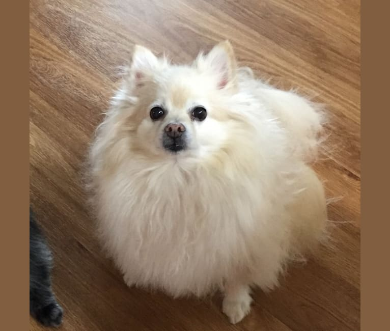 Photo of Nahla, a Pomeranian  in Upland, Indiana, USA