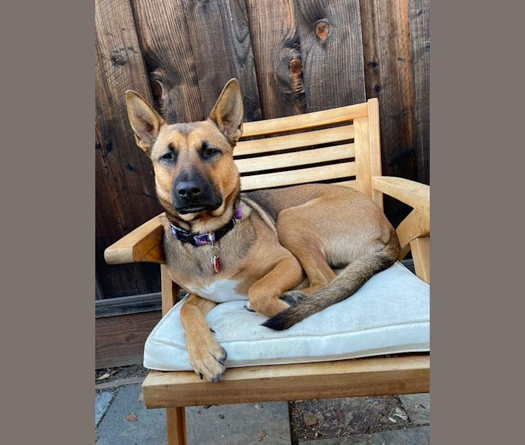 Photo of Lucy, a German Shepherd Dog and American Pit Bull Terrier mix in San Mateo, California, USA