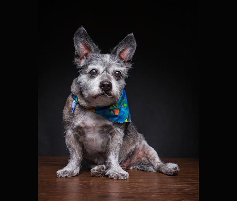 Photo of Pan, a Boston Terrier and Poodle (Small) mix in Meridian, Idaho, USA