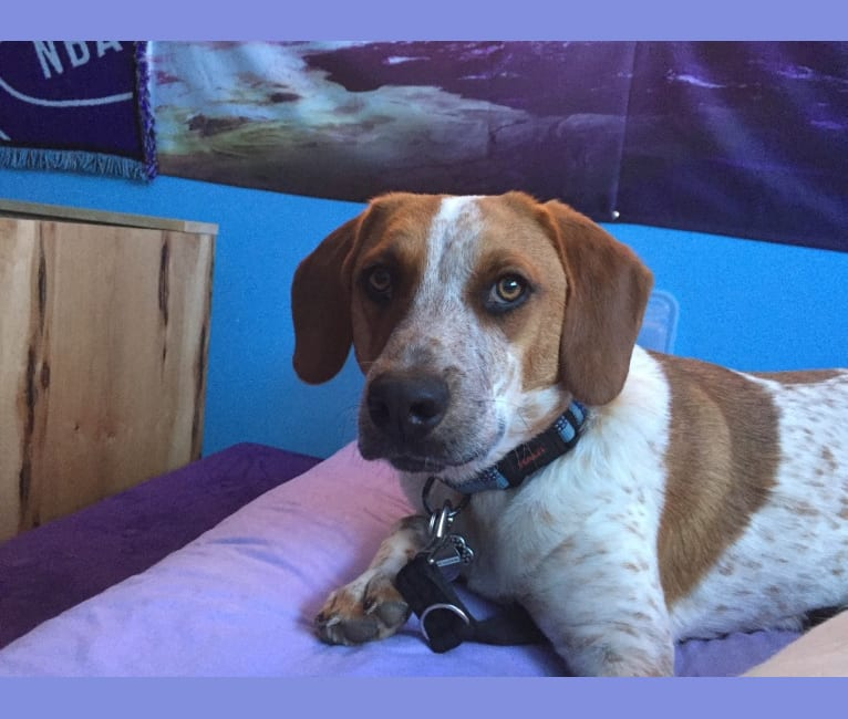Photo of Enzo, a Beagle and Australian Cattle Dog mix in Utah, USA