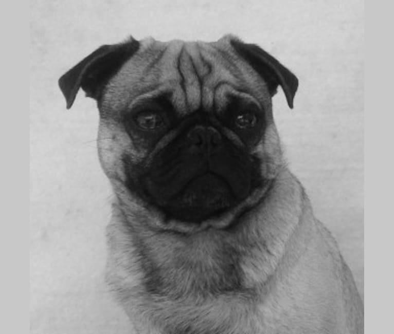 Photo of Bacon, a Pug