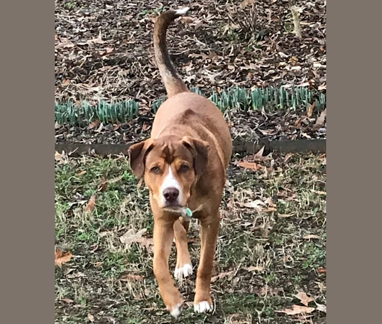 Photo of Samuel, an American Pit Bull Terrier, Labrador Retriever, and German Shepherd Dog mix in Germantown, Tennessee, USA