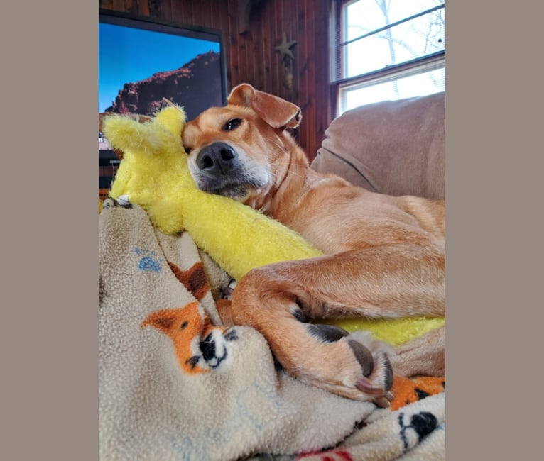 Photo of Alfred, a Beagle, American Pit Bull Terrier, and Mixed mix in Montgomery, New Jersey, USA