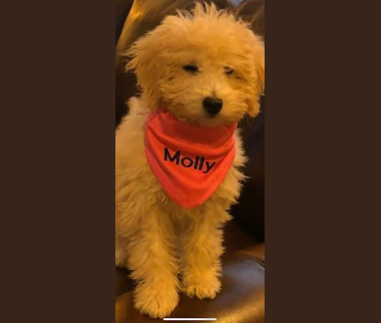 Photo of Molly, a Poodle (Small)  in Indiana, USA