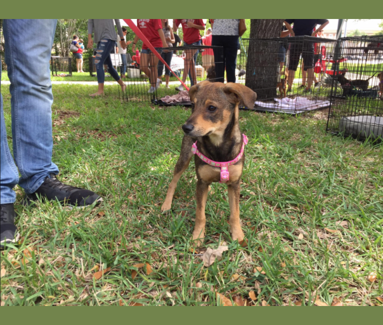 Photo of Daphne, a Chihuahua, Dachshund, German Shepherd Dog, and Mixed mix in Florida, USA
