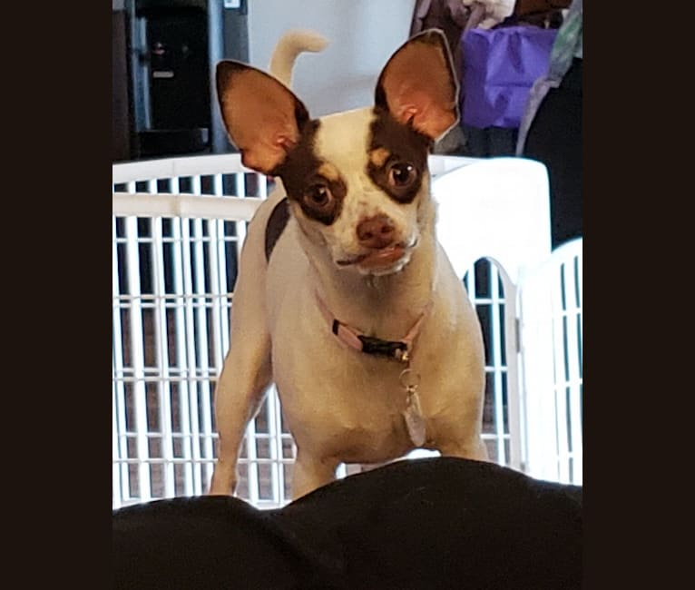 Photo of Bindi, a Chihuahua, Miniature Pinscher, Poodle (Small), and Mixed mix in Baker, California, USA