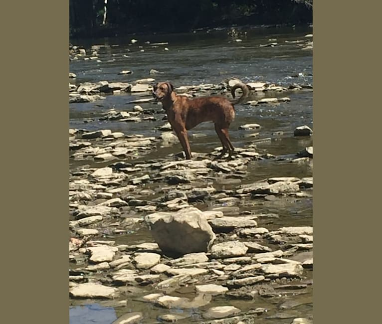 Photo of River Bank, a Doberman Pinscher, Boxer, Siberian Husky, and Mixed mix in Kentucky, USA