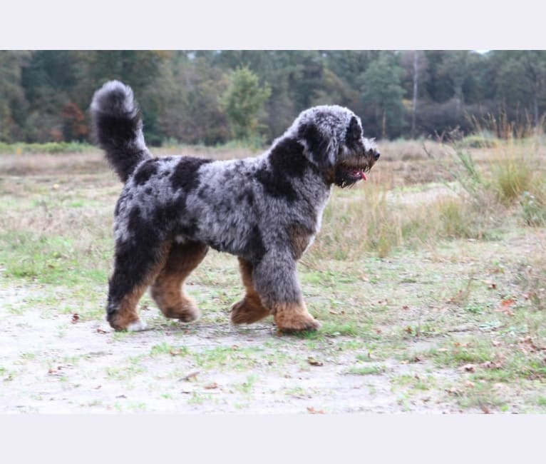 Photo of Bubbels, a Bernedoodle  in Harfsen, Nederland