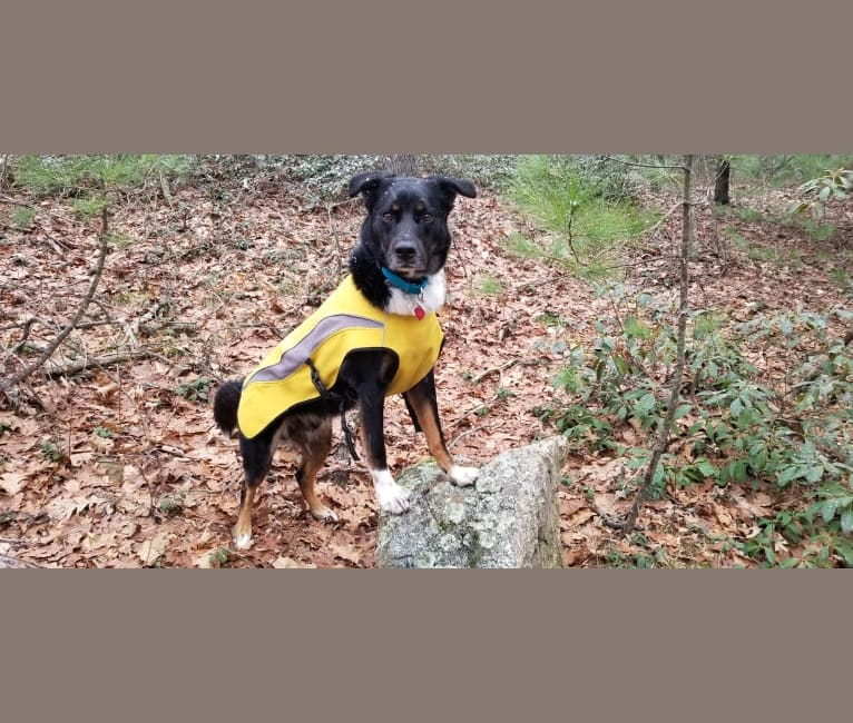 Photo of Beast, an Australian Shepherd, Australian Cattle Dog, American English Coonhound, and Mixed mix in Texas, USA