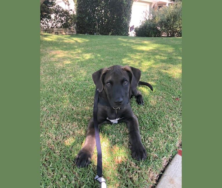 Photo of Mojo, an American Pit Bull Terrier, German Shepherd Dog, Labrador Retriever, and Golden Retriever mix in Tijuana, Baja California, Mexico
