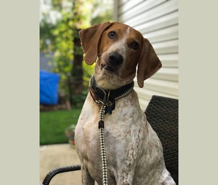 Photo of Victor, an American English Coonhound  in Great Smoky Mountains, United States