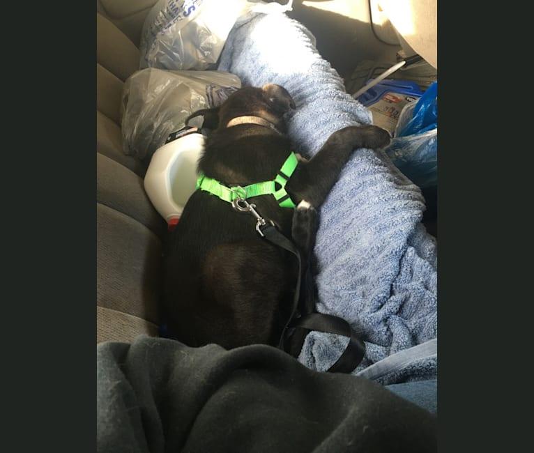 Photo of Kai, a Shetland Sheepdog, German Shepherd Dog, Siberian Husky, and Collie mix in Exeter, Pennsylvania, USA