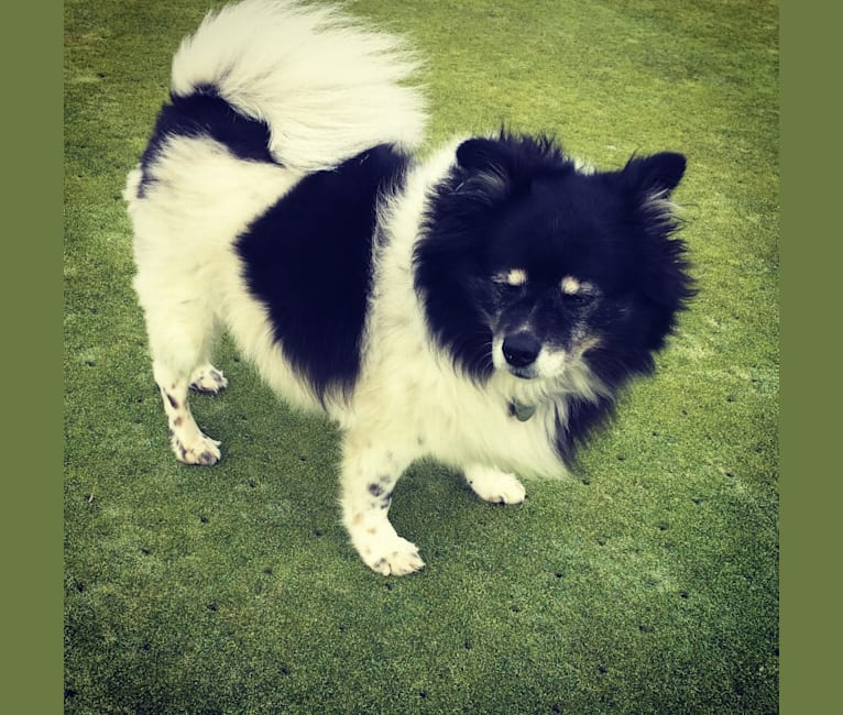 Photo of Piper, an American Eskimo Dog mix