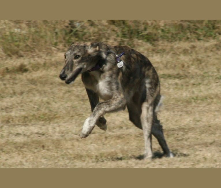 Photo of Azure, a Silken Windhound  in Bowling Green, KY, USA