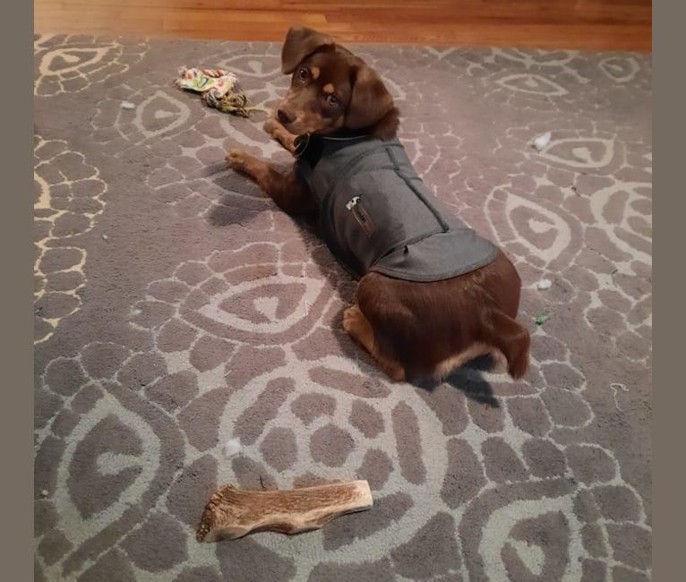 Photo of Whiskey, a Labrador Retriever, Beagle, Pomeranian, Chihuahua, and Golden Retriever mix in Virginia, USA