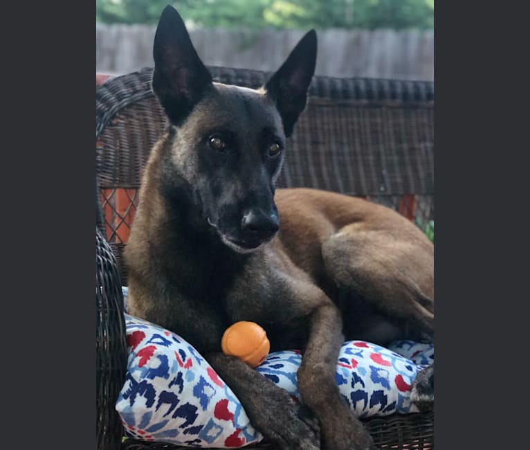 Photo of Rook, a Belgian Shepherd  in Salem, Oregon, USA