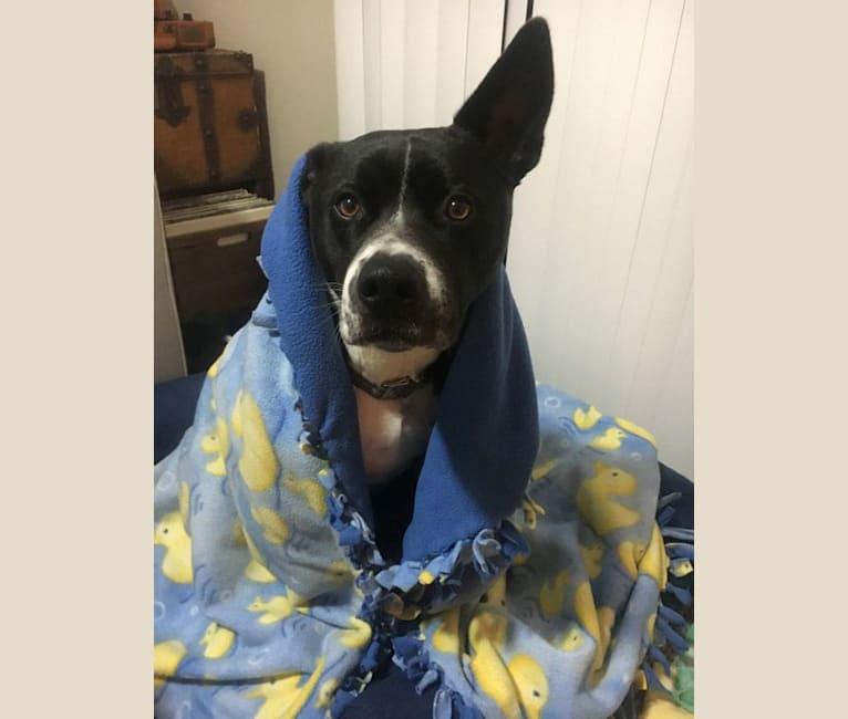 Photo of Karoo, a Staffordshire Terrier and Akita mix in Tijuana, Baja California, Mexico