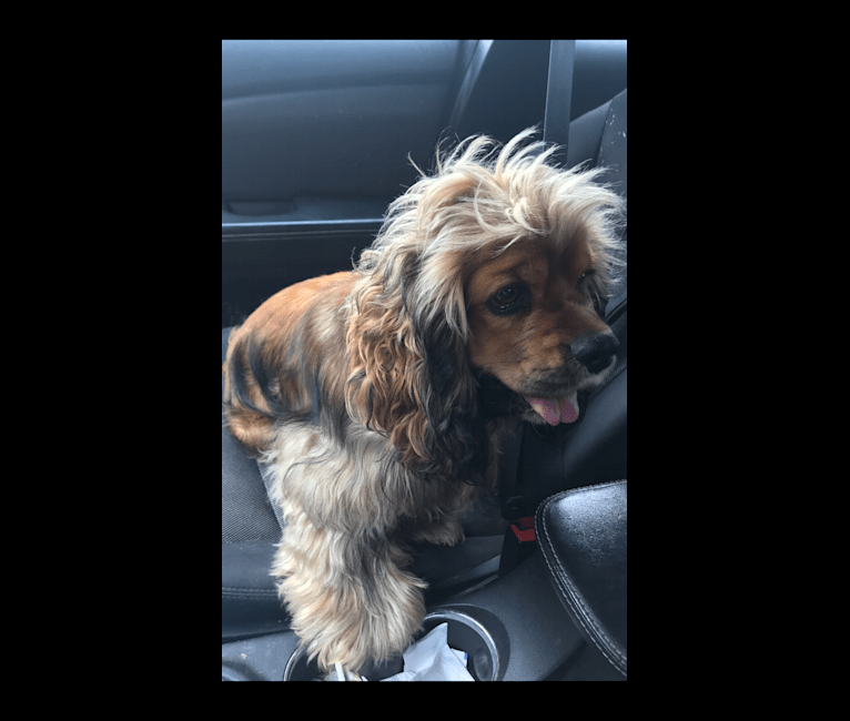 Photo of Zoey's Perpetual Bliss, a Cocker Spaniel  in Rayne, LA, USA
