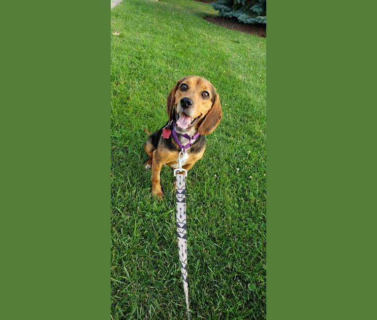 Photo of Snickers, a Beagle  in Kentucky, USA
