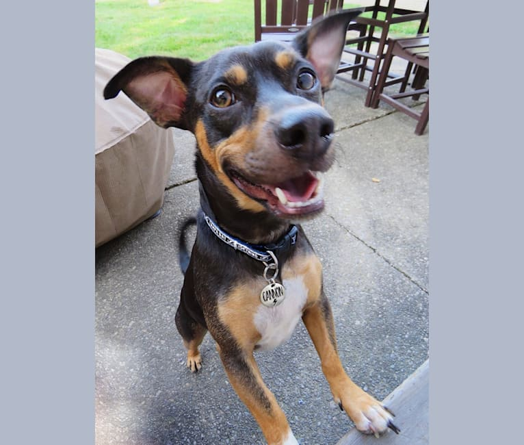 Photo of Cannon, a Chihuahua, American Pit Bull Terrier, and Mixed mix in Uniondale, New York, USA