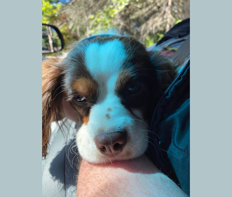 Photo of PARKER, a Cavalier King Charles Spaniel