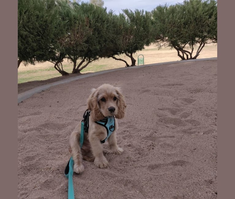 Photo of Linus, a Cocker Spaniel and Mixed mix in Mesa, Arizona, USA