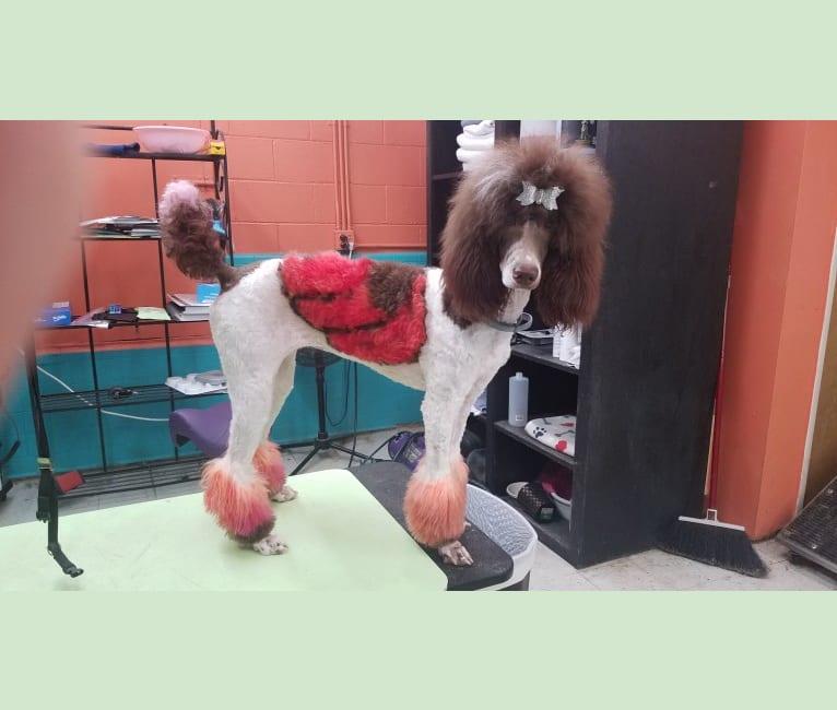 Photo of Beretta Briar, a Poodle (Standard)  in Claremore, OK, USA