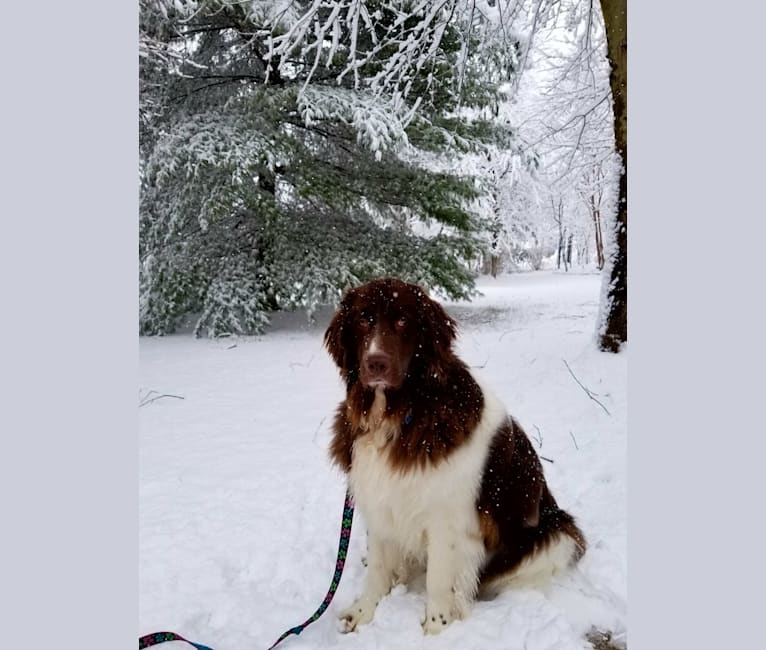 Photo of Bailey, a Newfoundland  in Maryland, USA