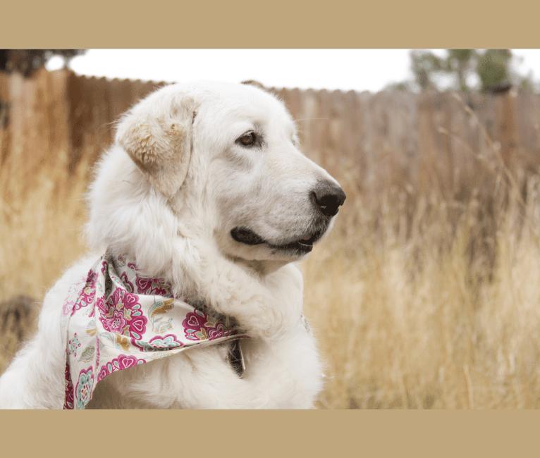 Photo of Remmy, a Maremma Sheepdog  in Bend, Oregon, USA